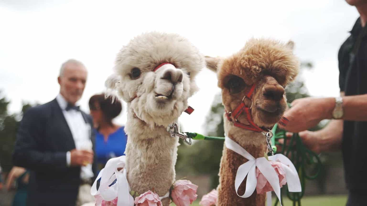 two lamas between wedding guest steering to the camera