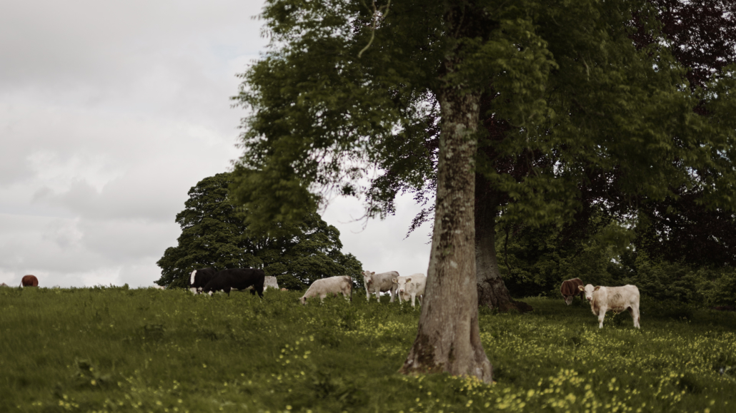 cows on field